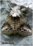 Small Heterocampa MothHeterocampa subrotata #7985