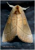 White-dotted Prominent MothNadata gibbosa #7915