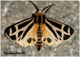 Genus Apantesis 3