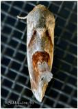 Tarache Terminimaculata MothTarache terminimaculata #9145