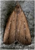Bronzy Macrochilo MothMacrochilo orciferalis  #8360