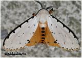 Salt Marsh MothEstigmene acrea #8131