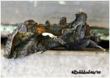 Common Looper MothAutographa precationis #8908