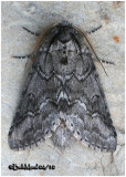 Double-lined Prominent MothLochmaeus bilineata #7999
