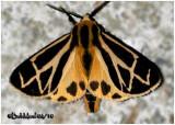 Genus Apantesis 5