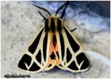 Nais Tiger MothApantesis nais #8171