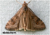 Lucerne MothNomophila nearctica #5156