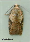 Acleris CervinanaAcleris cervinana #3514