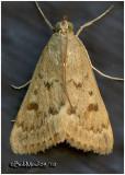 Garden Webworm Moth Achyra rantalis #4975
