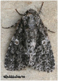 Afflicted Dagger  Moth Acronicta afflicta #9254