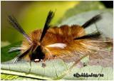 Banded Tussock Moth Caterpillar Halysidota tessellaris #8203