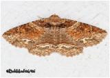 Maple Zale Moth Zale galbanata #8692
