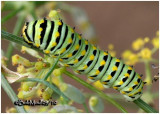 Black Swallowtail Caterpillar-Early Instar
