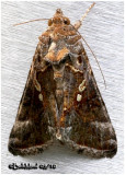 Soybean Looper MothPseudoplusia includens #8890
