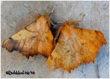 Maple Spanworm Moths