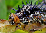 Common Buckeye Caterpillar