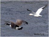 Canada and Snow Goose