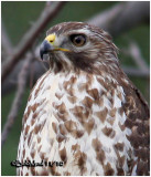 Red-shouldered Hawk-Juvenile