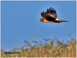 Northen Harrier