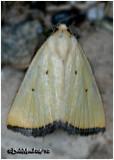 Black-bordered Lemon MothMarimatha nigrofimbria  #9044