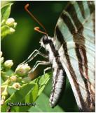 Zebra SwallowtailEurytides marcellus