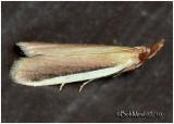 White-edged Pima MothPima albiplagiatella #5747
