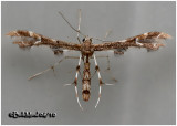 Plume Moth-Small, Unidentified
