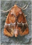 Yellow-shouldered Slug MothLithacodes fasciola #4665