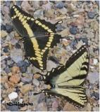 Giant Swallowtail w/ Eastern Tiger Swallowtail