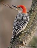 Red-bellied Woodpecker-Male
