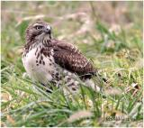 Red-tailed Hawk-First Year