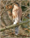Cooper's Hawk-Adult