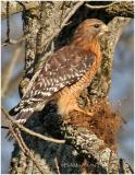 Red Shouldered Hawk-Adult