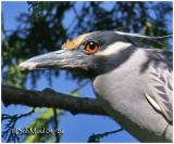 Yellow-Crowned Night Heron - Breeding Plumage