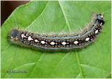 Forest Tent Caterpillar MothMalacosoma disstria #7698