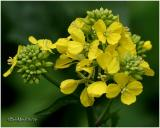 YELLOW WILDFLOWERS (A to M)