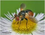 Tachinid Fly-Female
