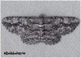 Common Gray MothAnavitrinella pampinaria #6590