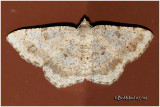 Faint-spotted Angle MothDigrammia ocellinata  #6386
