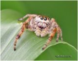 Jumping Spider-Female