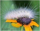 Virginian Tiger Moth Caterpillar Spilosoma virginica #8137