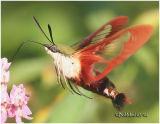 Hummingbird Clearwing Moth Hemaris thysbe #7853