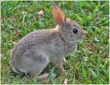 Eastern Cottontail-Immature