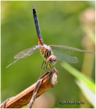Blue Dasher-Male-Obelisking