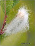 Black-waved Flannel Moth CaterpillarLagoa crispata #4644