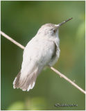 Leucistic Ruby-throated Hummingbird-Immature Female