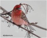 House Finch-Male Aberrant