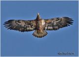 Bald Eagle-3rd year sub adult