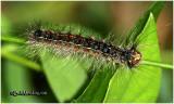 Gypsy Moth Caterpillar Lymantria dispar #8318