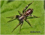 Ground Sac Spider